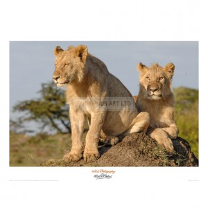 MF042 Lionesses on the Look Out