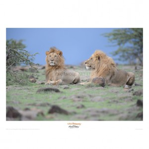MF043  Two Lions Watching