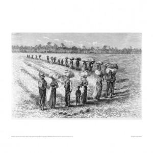 SLA013 Uncle Tom's Cabin, Slaves Cotton Harvest