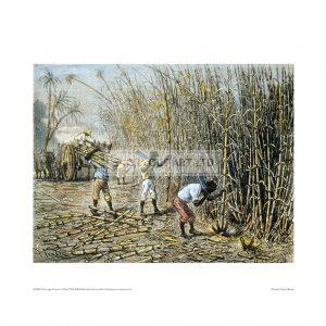 SLA045 Cane Sugar Harvert in Cuba 19th Century